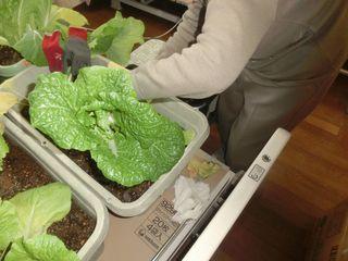 2016白菜収穫3.JPG