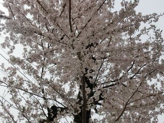 2016_お花見_01.JPG